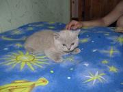 продам британских короткошерстных котят